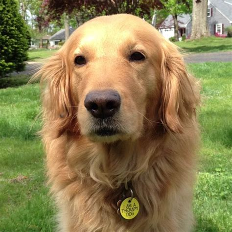 golden retriever driving commercial best 25 golden retriever rescue ideas on