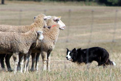 herding breeds herding