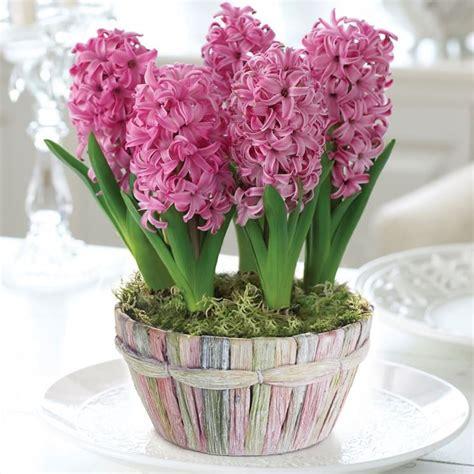 giacinti in vaso giacinto hyacintus bulbi coltivazione e cura