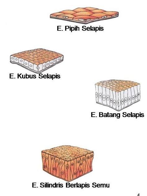 Kubus Kulit 2 struktur dan fungsi jaringan hewan biologi dan kehidupan