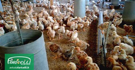allevamento galline in gabbia polli e galline consigli utili per l allevamento domestico