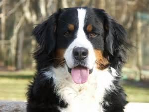 photo chien bouvier bernois 856 wamiz