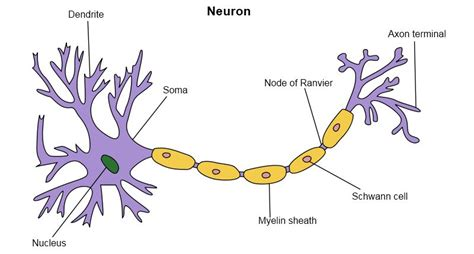 model of a motor neuron our brains forget information at a rate of 1 bit per