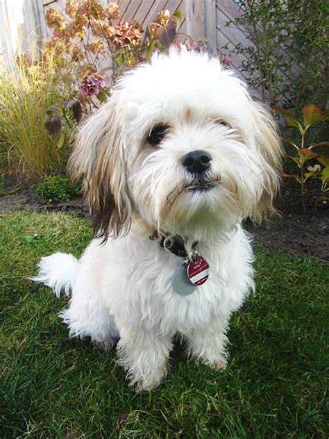 havanese breed best 25 havanese haircuts ideas on havanese coloring page