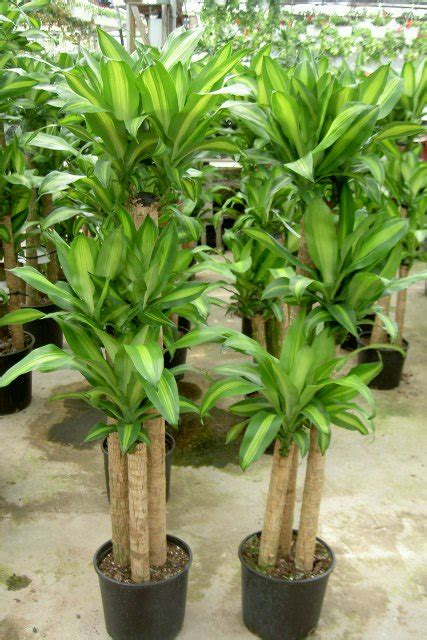 corn plant common house plants common office plants home design ideas and pictures