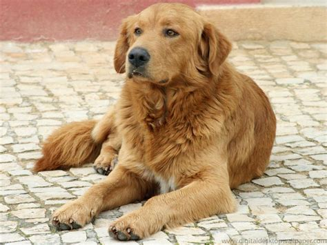 a golden retriever golden retrievers animal literature