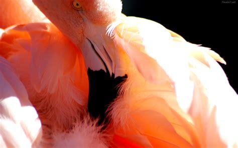 descargar fondos de pantalla tucan bird hd widescreen gratis flamenco wallpaper wallpapersafari