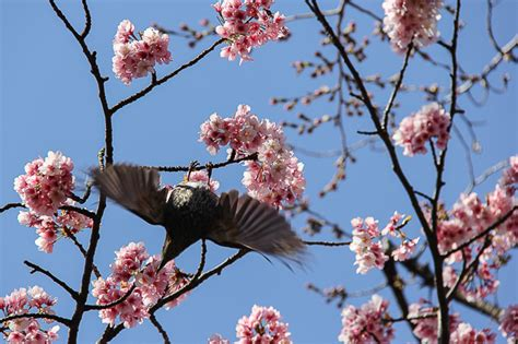 Cherry Tree 2015 Parents Guide Cherry Blossom Report 2015 Tokyo Report