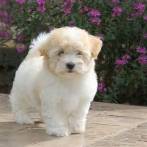 Puppies For Sale Coton De Tulear Puppies For Sale Greenfield Puppies