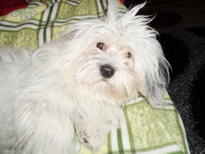 havanese or coton de tulear i can t decide whether my is a coton de tulear or a havanese