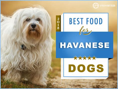 best food to feed your the 6 best foods to feed your and puppy havanese