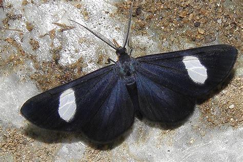 imagenes de mariposas negras y blancas significado de las mariposas y sus colores