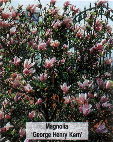 Magnolia George Henry Kern 3714 by Magnolia George Henry Kern