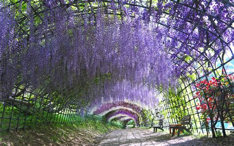 wisteria tunnels tokyo take a walk through japan s magical wisteria tunnels