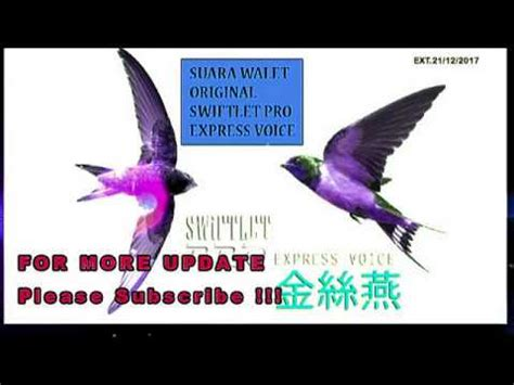 Bazooka Slr 1000 By Walet Teknik 30 menit suara pemanggil walet klimaks optima v 03 2018