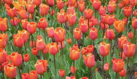 triumph tulip bulbs toptulips com