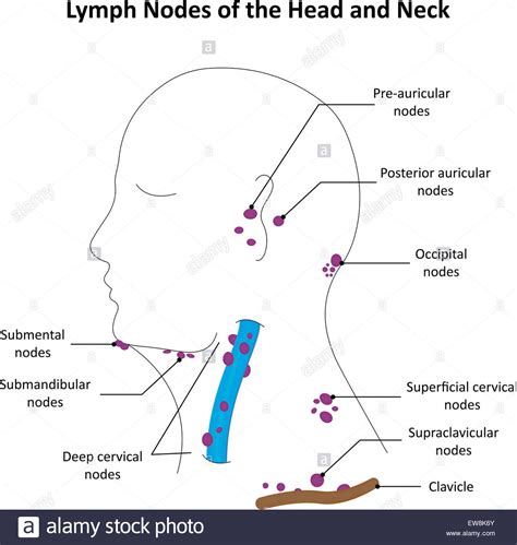 neck glands diagram lymph nodes of the and neck stock photo royalty free
