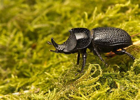 bug 3 terbaru bug three aktif on burnaby mountain sinodendron rugosum male