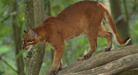 Jual Sepatu Kets Fish Cat Rn 12 adinoto s 187 archive 187 butuh bantuan proyek pelestarian kucing hutan liar asli indonesia