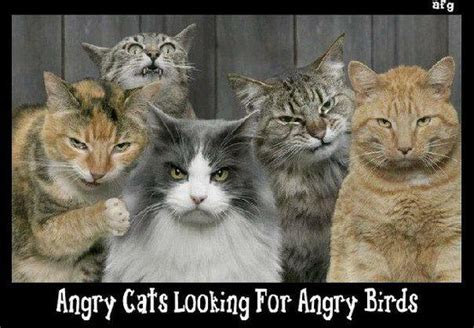 Funny Angry Cat Meme - angry cats looking for angry birds jokes memes pictures