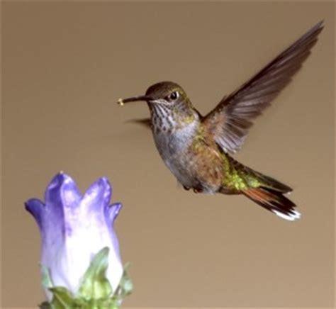 hummingbirds /hawks aloft inc.