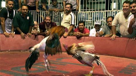 Peleas De Gallos En Puerto Rico 2015 | el c 243 digo penal castigar 225 con c 225 rcel la zoofilia y las
