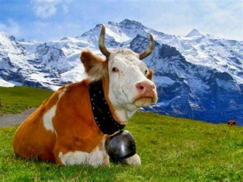 Still A Cow by Guernsey With Cowbell Swiss Alps Hoofbeats