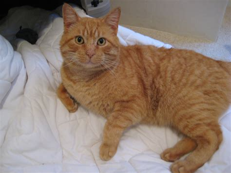 Hyde Park Cats   TNR: Orange Cat aka Tigler