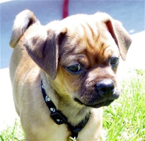 pug pinscher pug and boxer mix pictures pug miniature pinscher hybrid dogs animals