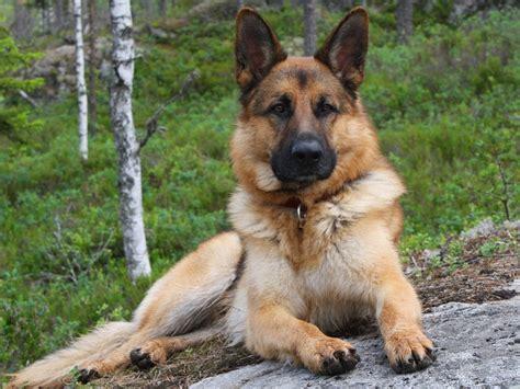 german shepherd hd wallpaper hd