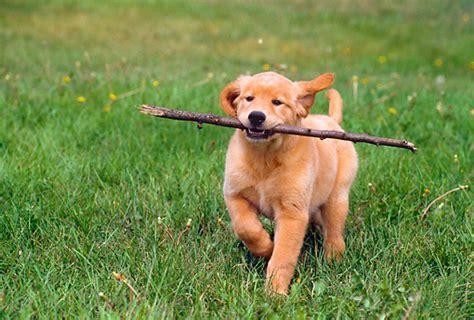 golden retriever running golden retriever pup