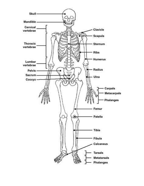 Human Anatomy Practice Test