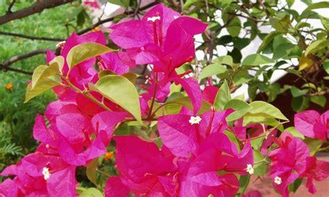 Galeri Tanaman Hias Daun foto tanaman nama ilmiah dian harapan s gallery of