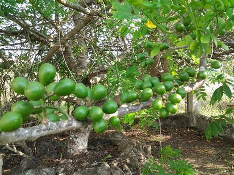 fruit trees in ohio an expat journal mangoes and bluggos and plums oh my