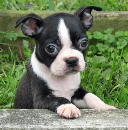 boston bull terrier puppies best 25 boston terrier puppies ideas on boston terrier boston terriers