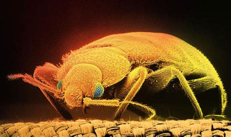 can bed bugs live in tvs a bug s life bed bugs are back and living under a mattress near you health life