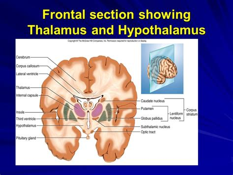 frontal section the brain and cranial nerves handout 7 functions of gray