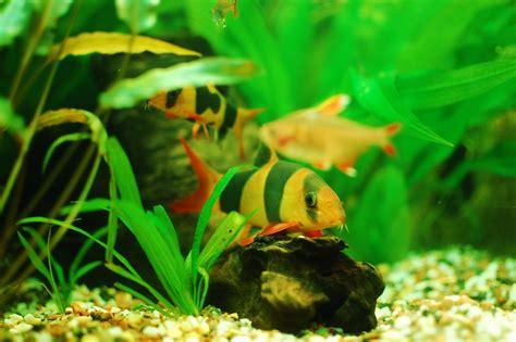 Makanan Ikan Hias Black Ghost fish freshwater aquarium talk