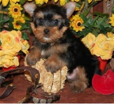 yorkie puppies durham nc and adorable teacup yorkie puppies free adoption lovely looking breeds picture