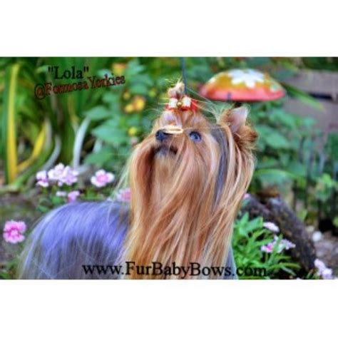 oregon yorkie breeders formosa yorkies oregon yorkies terrier breeder in eugene oregon