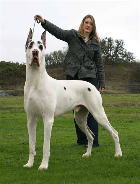 great dane great dane history personality appearance health and pictures