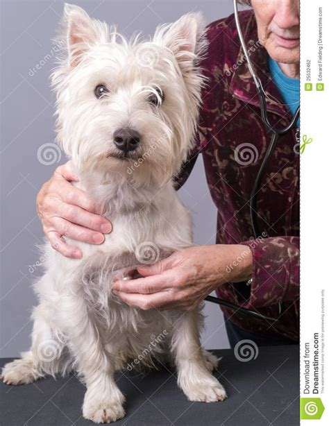 puppy check up puppy getting a health check at vet stock photography image 25532462
