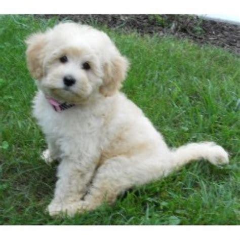 goldendoodle puppy michigan apple creek doodles goldendoodle breeder in