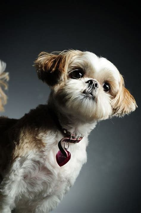 what does a shih tzu haircut look like best 927 puppies images on pinterest animals and pets
