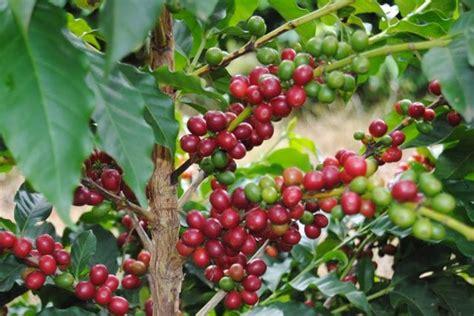 dawson v cherry tree machine picked vs mechanized coffee the pros cons