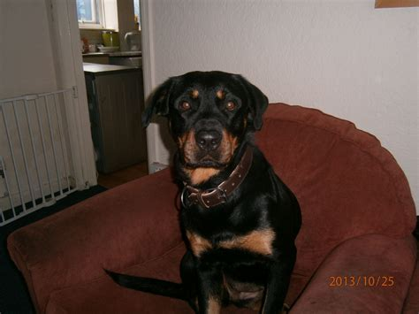 rottweiler 2 years 2 year rottweiler norwich norfolk pets4homes