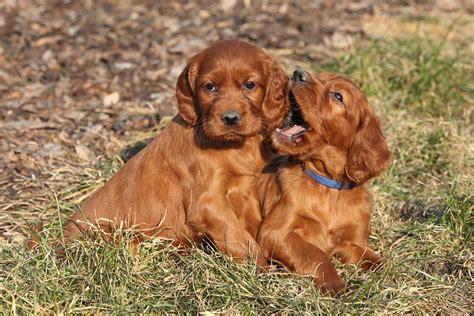 au setter dog lisieux irish setter irish setter pet insurance dog breed info
