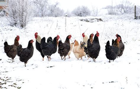 backyard chickens in winter how to keep your backyard chickens healthy in the winter