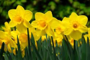 Leek Flower - narcissus carlton large cupped daffodil