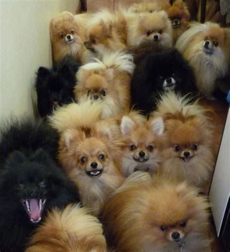 my pomeranians omg it s a fleet of pomeranians dogs pomeranians heavens and pom